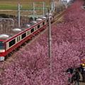 河津桜と赤い電車2015b