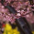 Photos: 河津桜と菜の花2015