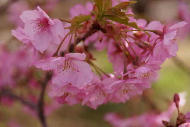 Photos: たわわに咲く河津桜2015