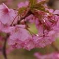 たわわに咲く河津桜2015