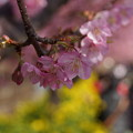 河津桜と菜の花2015d
