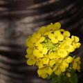 写真: 菜の花と桜の木2015f