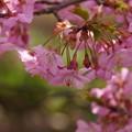 写真: 河津桜咲く2015g