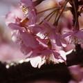 写真: 河津桜咲く2015b