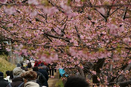 河津桜が見頃に!(110219)