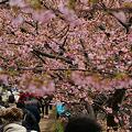 Photos: 河津桜が見頃に!(110219)