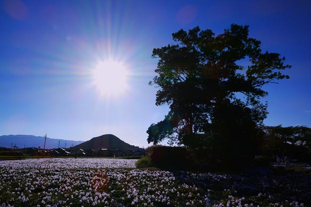 本薬師寺跡:ホテイアオイと畝傍山