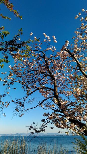 琵琶湖:近江富士と八重桜