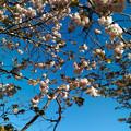 琵琶湖:近江富士と八重桜(2)