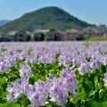 写真: ホテイアオイと畝傍山