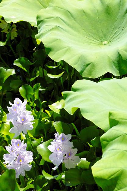 本薬師寺跡(ホテイアオイ):三姉妹と蓮葉