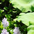 写真: 本薬師寺跡(ホテイアオイ):三姉妹と蓮葉
