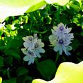 写真: 本薬師寺跡(ホテイアオイ):葉影で涼しそう