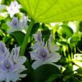 写真: 本薬師寺(ホテイアオイ):葉陰のホテイアオイ