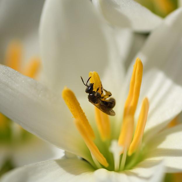 玉すだれ:花粉集めのミツバチ