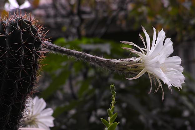 花盛丸:今年3度目の開花