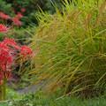 明日香:雨露に濡れる彼岸花と稲穂