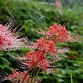 写真: 明日香:雨露に濡れる彼岸花