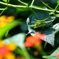 写真: オンブバッタ:ランタナの葉っぱの上で