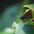 写真: チャバネセセリ:葉っぱは食べませんヨ!