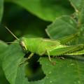 写真: ツチイナゴ:幼虫