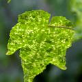 写真: 雨:アブチロンの葉