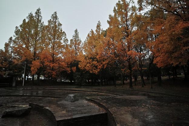 雨公園のメタセコイア