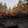 Photos: 雨公園のメタセコイア
