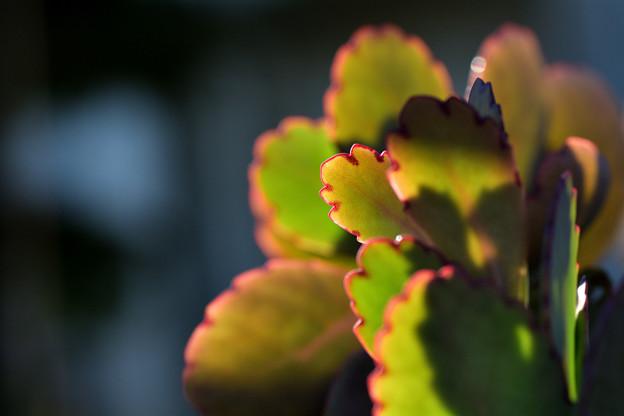 カランコエ属:胡蝶の舞錦