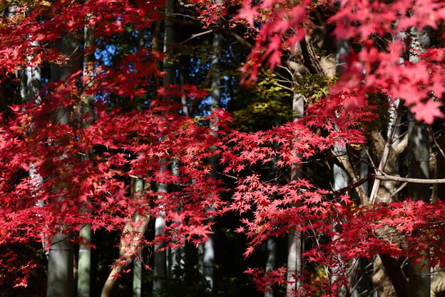 紅葉:竹林を背にして