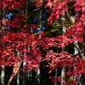 写真: 紅葉:竹林を背にして