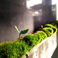 写真: 苔のベッドから・・・芽生え