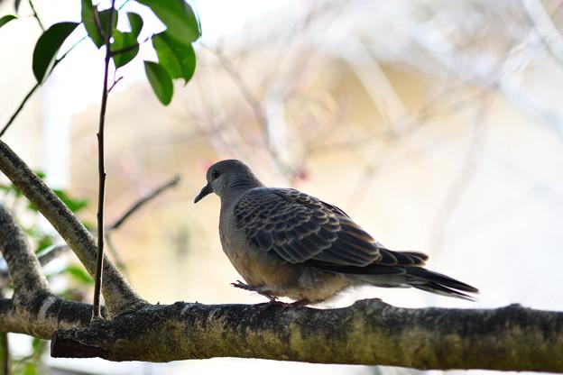 キジバト(幼鳥?):枝歩き中・・・