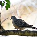 写真: キジバト(幼鳥?):枝歩き中・・・