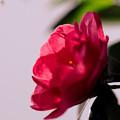 写真: 山茶花:目立ちたがり屋さん・・・