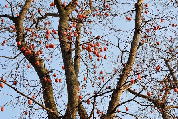 写真: なごりの柿