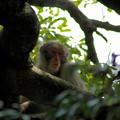 写真: 野生の日本猿