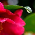 雨中の山茶花