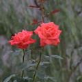 写真: 薔薇ちゃんズ