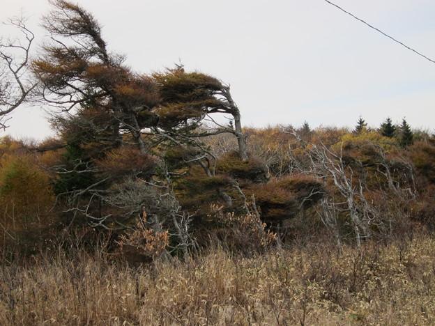 海岸沿いの松の木
