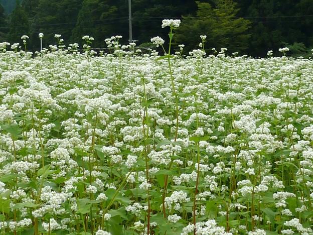 1-蕎麦の花