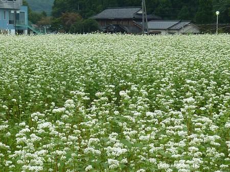 2-蕎麦の花