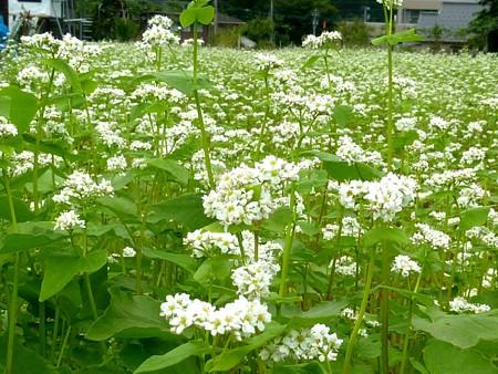 3-蕎麦の花