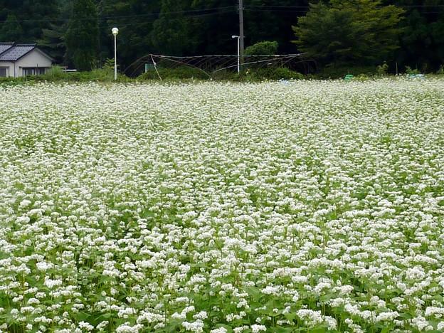 4-蕎麦の花