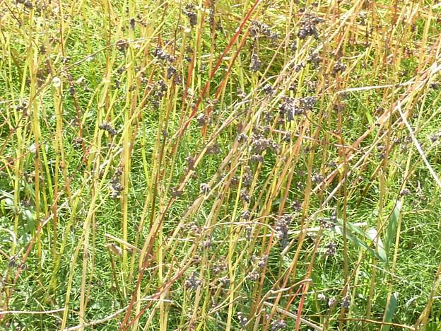 8-蕎麦の花