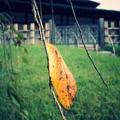 写真: GR黄葉