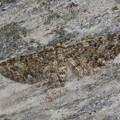 未同定 Eupithecia sp. ナミシャク亜科 20130325-8