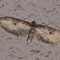 未同定 Eupithecia sp. ナミシャク亜科 20130325-2