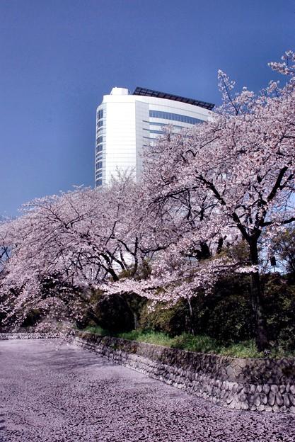 市庁舎と桜吹雪・城址の桜散る-1-D8-0413-53