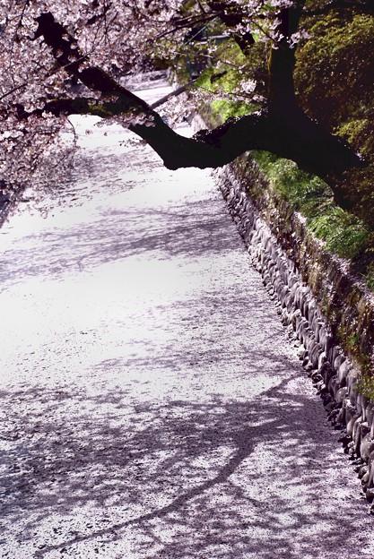 城址のお堀に出来た花びらの桜道-D8-0413-77